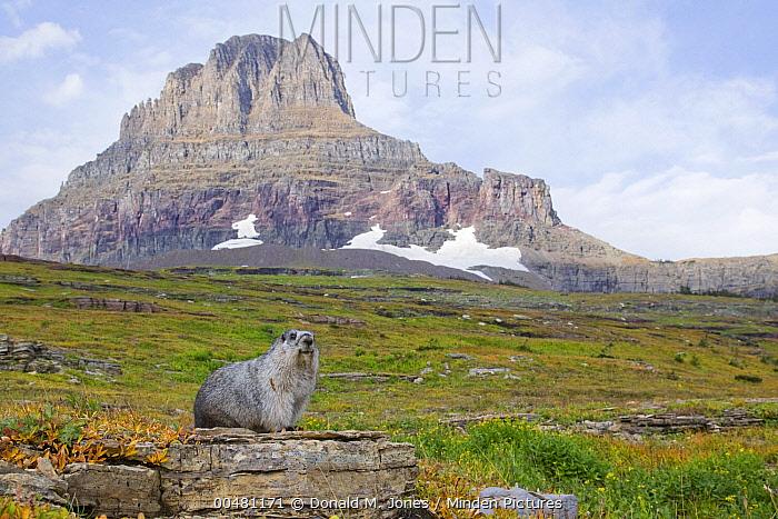 Yellow-bellied Marmot (Marmota flaviventris) in alpine meadow, Glacier National Park, Montana  -  Donald M. Jones
