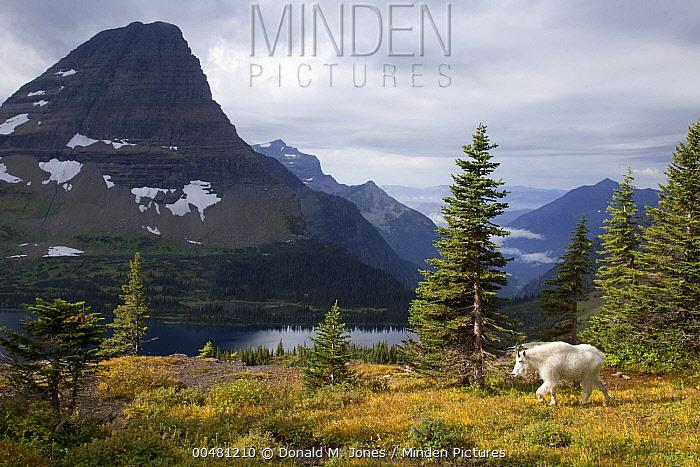 Mountain Goat (Oreamnos americanus) in alpine meadow, Glacier National Park, Montana  -  Donald M. Jones