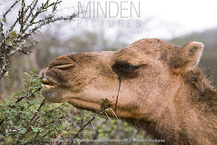 Dromedary (Camelus dromedarius) camel browsing on Acacia (Acacia sp) tree, reducing food for native herbivores, Hawf Protected Area, Yemen  -  Sebastian Kennerknecht