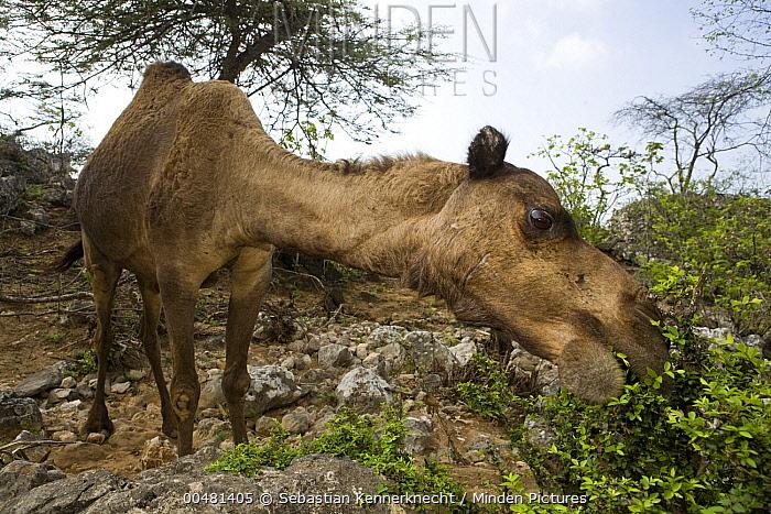 Dromedary (Camelus dromedarius) camel browsing on Acacia (Acacia sp) bush, reducing food for native herbivores, Hawf Protected Area, Yemen  -  Sebastian Kennerknecht