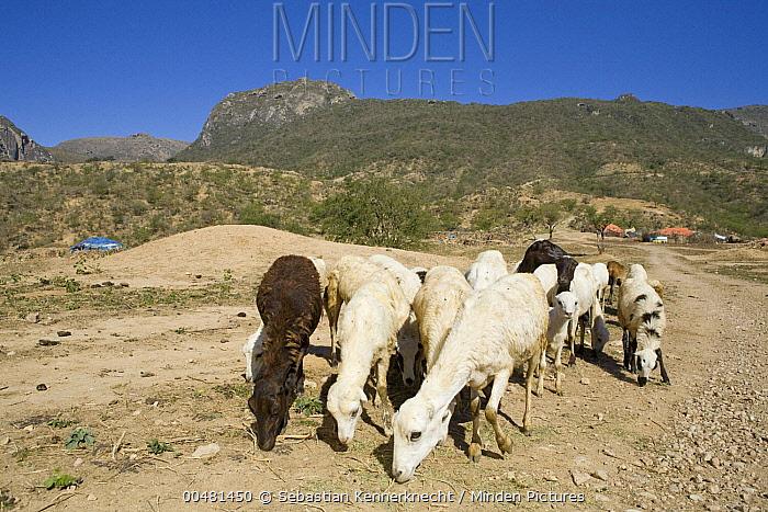 Domestic Sheep (Ovis aries) flock grazing near bedouin camp, Hawf Protected Area, Yemen  -  Sebastian Kennerknecht
