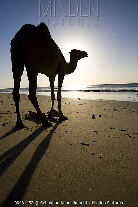 Dromedary (Camelus dromedarius) camel silhouetted on beach at sunrise, Hawf Protected Area, Yemen  -  Sebastian Kennerknecht