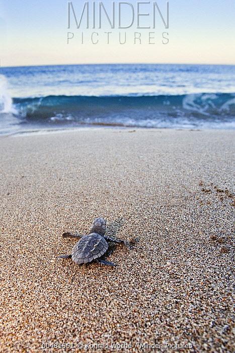 Loggerhead Sea Turtle (Caretta caretta) hatchling heading to sea, Lykia, Turkey  -  Konrad Wothe