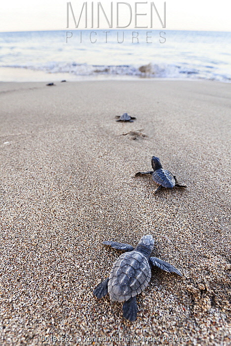 Loggerhead Sea Turtle (Caretta caretta) hatchlings heading to sea, Lykia, Turkey  -  Konrad Wothe