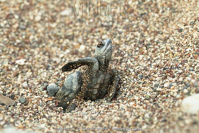 Loggerhead Sea Turtle (Caretta caretta) hatchlings emerging from sand, Lykia, Turkey  -  Konrad Wothe