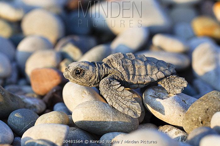 Loggerhead Sea Turtle (Caretta caretta) hatchling on pebbles, Lykia, Turkey  -  Konrad Wothe
