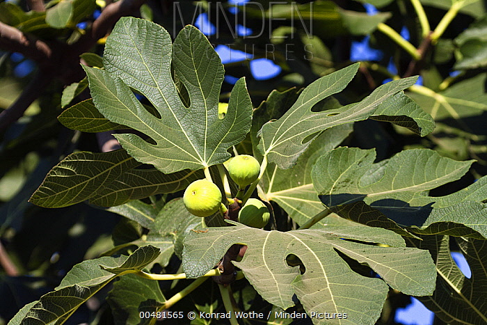 Common Fig (Ficus carica) fruiting, Europe  -  Konrad Wothe