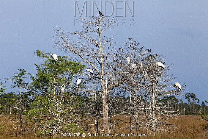 Wood Stork (Mycteria americana) group roosting in Dwarf Cypress (Taxodium sp), Everglades National Park, Florida  -  Scott Leslie