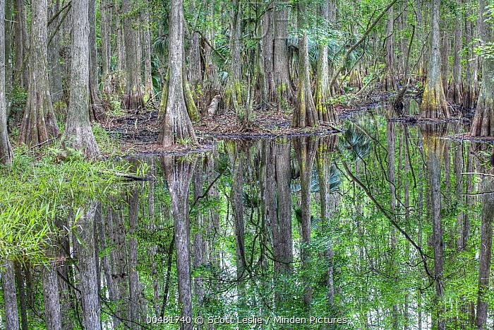 Bald Cypress (Taxodium distichum) trees in flooded swamp, Highlands Hammock State Park, Florida  -  Scott Leslie