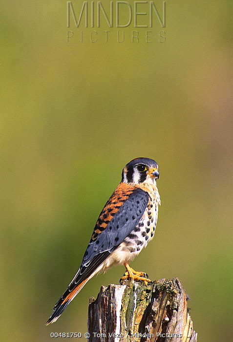 American Kestrel (Falco sparverius) male, Long Island, New York  -  Tom Vezo