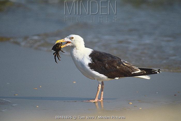 Great Black-backed Gull (Larus marinus) with crab prey, Long Island, New York  -  Tom Vezo