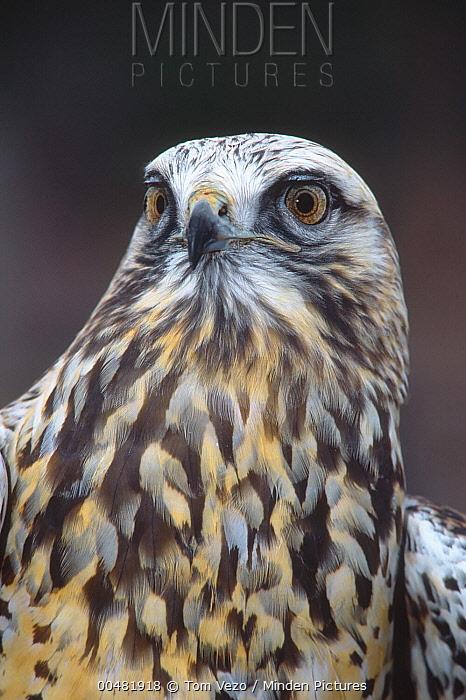 Rough-legged Hawk (Buteo lagopus) in light phase, Vermont  -  Tom Vezo