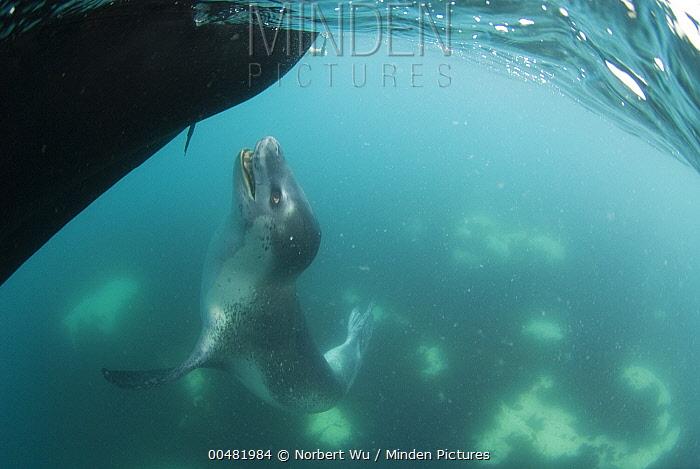 Leopard Seal (Hydrurga leptonyx) investigating inflatable boat, Antarctic Peninsula, Antarctica  -  Norbert Wu
