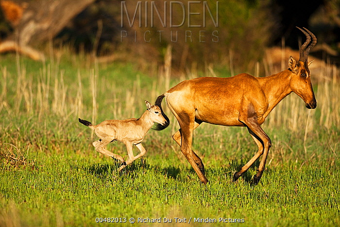 Red Hartebeest (Alcelaphus caama) mother and calf running, Rietvlei Nature Reserve, Gauteng, South Africa  -  Richard Du Toit