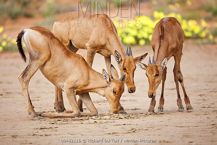Red Hartebeest (Alcelaphus caama) calves drinking from small hole in otherwise dry waterhole, Kgalagadi Transfrontier Park, Botswana  -  Richard Du Toit