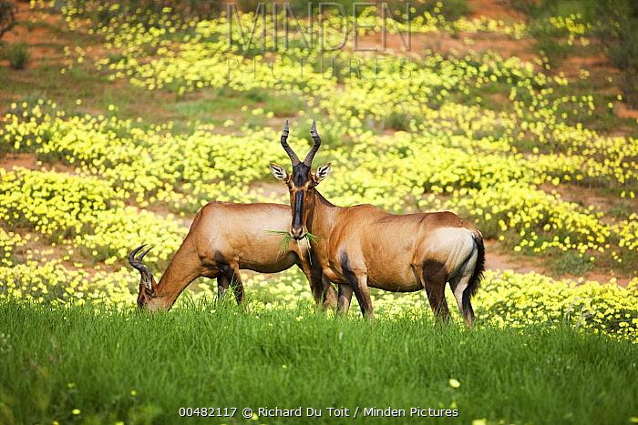 Red Hartebeest (Alcelaphus caama) feeding on grasses near Yellow Vine (Tribulus terrestris) flowers, Kgalagadi Transfrontier Park, Botswana  -  Richard Du Toit