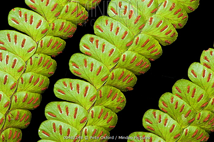 Young fern leaves with spores, Yasuni National Park, Amazon, Ecuador  -  Pete Oxford