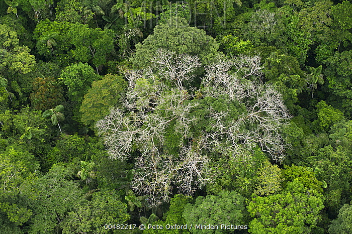 Silk Cotton Tree (Ceiba pentandra) and rainforest canopy Yasuni National Park Amazon & Minden Pictures stock photos - Silk Cotton Tree (Ceiba pentandra ...