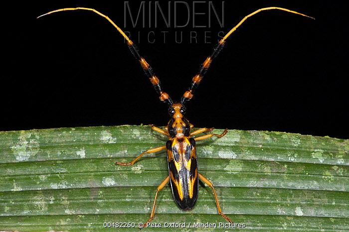 Longhorn Beetle (Batus barbicornis) with aposematic coloration, Yasuni National Park, Amazon, Ecuador  -  Pete Oxford
