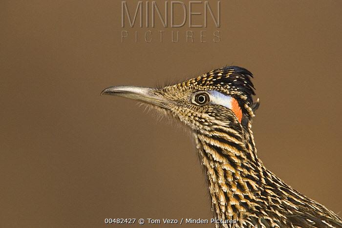 Greater Roadrunner (Geococcyx californianus), Green Valley, Arizona  -  Tom Vezo