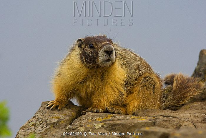 Yellow-bellied Marmot (Marmota flaviventris), British Columbia, Canada  -  Tom Vezo
