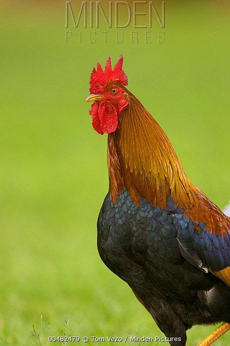 Domestic Chicken (Gallus domesticus) rooster, Kauai, Hawaii  -  Tom Vezo