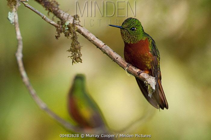 Chestnut-breasted Coronet (Boissonneaua matthewsii) hummingbird, eastern Andes, Ecuador  -  Murray Cooper