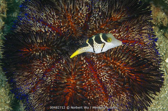 Black Saddled Toby (Canthigaster valentini) above Fire Urchin (Asthenosoma varium), Ambon, Indonesia  -  Norbert Wu