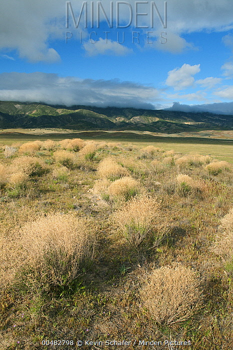 Dried shrubs in late winter, Carrizo Plain National Monument, California  -  Kevin Schafer