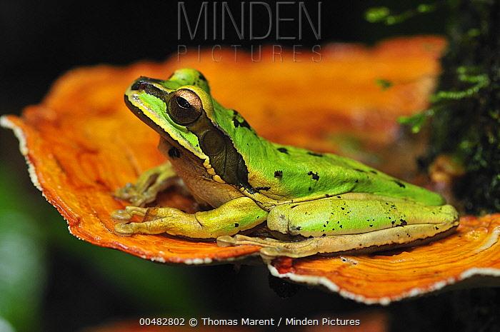 Tarraco Treefrog (Smilisca phaeota) on mushroom, Piedras Blancas National Park, Costa Rica  -  Thomas Marent
