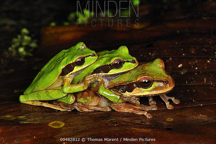Tarraco Treefrog (Smilisca phaeota) trio in amplexus, Piedras Blancas National Park, Costa Rica  -  Thomas Marent