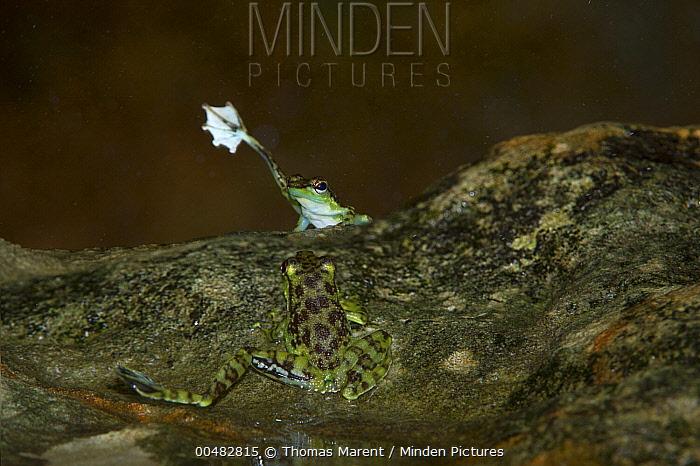 Mindanao Splash Frog (Staurois natator) raising foot during display, Bako National Park, Sarawak, Borneo, Malaysia, digital composite  -  Thomas Marent