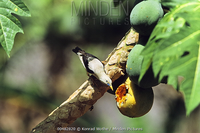 White-headed Starling (Sturnus erythropygius) feeding on fruit, Havelock Island, Andaman Islands, India  -  Konrad Wothe