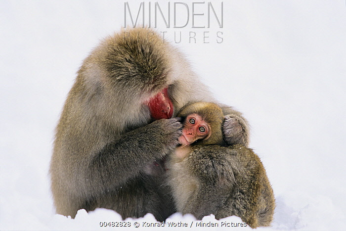 Japanese Macaque (Macaca fuscata) grooming young in snow, Japanese Alps, Japan  -  Konrad Wothe