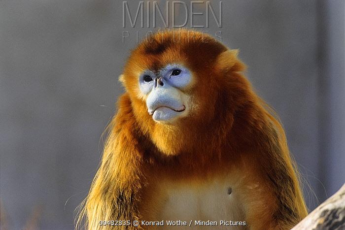 Golden Snub-nosed Monkey (Rhinopithecus roxellana) male, China  -  Konrad Wothe