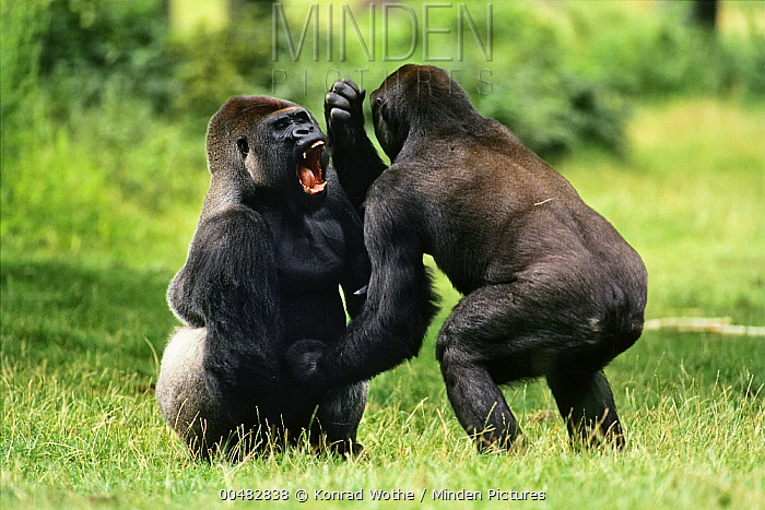 Western Lowland Gorilla (Gorilla gorilla gorilla) males fighting, Africa  -  Konrad Wothe