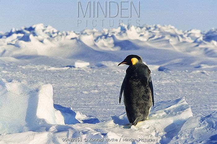 Emperor Penguin (Aptenodytes forsteri) on ice, Weddell Sea, Antarctica  -  Konrad Wothe