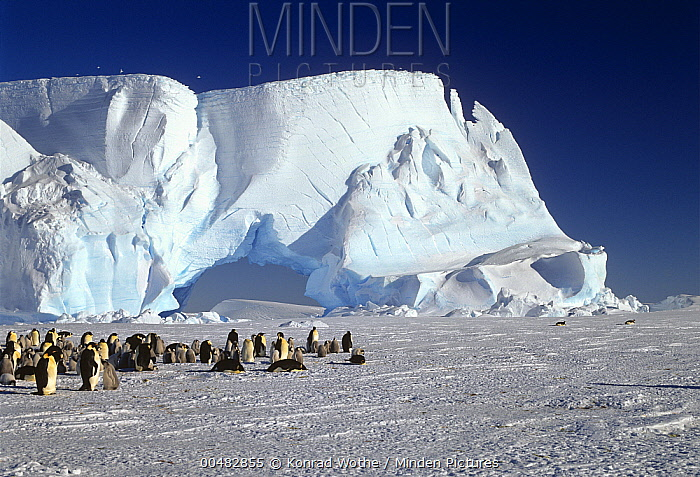 Emperor Penguin (Aptenodytes forsteri) colony and iceberg, Weddell Sea, Antarctica  -  Konrad Wothe