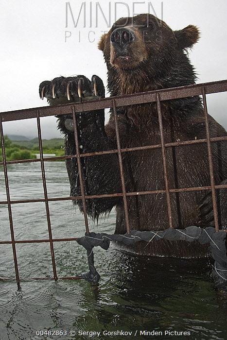 Brown Bear (Ursus arctos), investigating photographer's cage, Kamchatka, Russia  -  Sergey Gorshkov