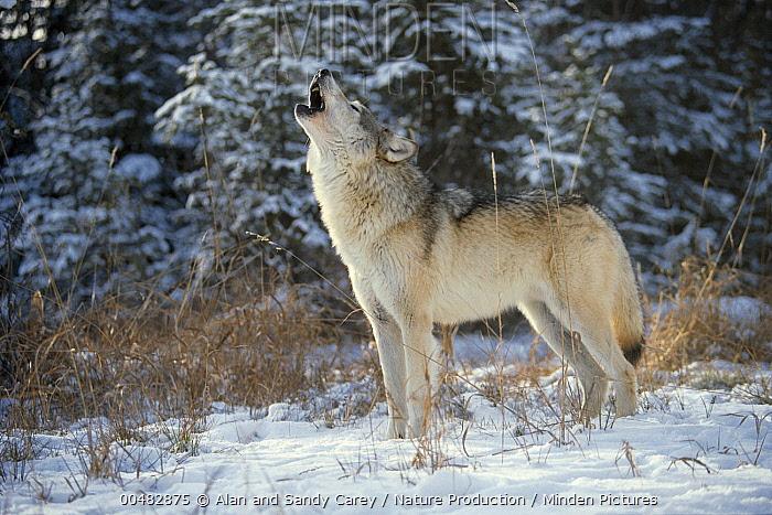 Gray Wolf (Canis lupus) howling, Montana  -  Alan & Sandy Carey/ Nature Produ