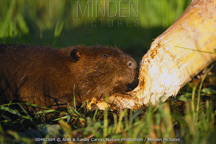 American Beaver (Castor canadensis) felling a small tree for its dam, Minnesota  -  Alan & Sandy Carey/ Nature Produ