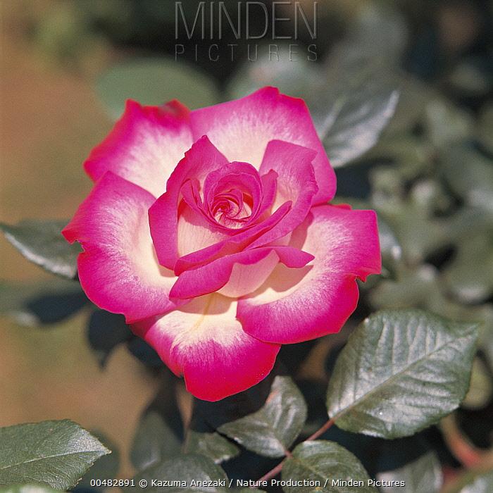 Rose (Rosa sp)  -  Kazuma Anezaki/ Nature Productio