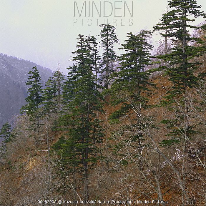 Japanese White Pine (Pinus parviflora), Yamagata, Japan  -  Kazuma Anezaki/ Nature Productio