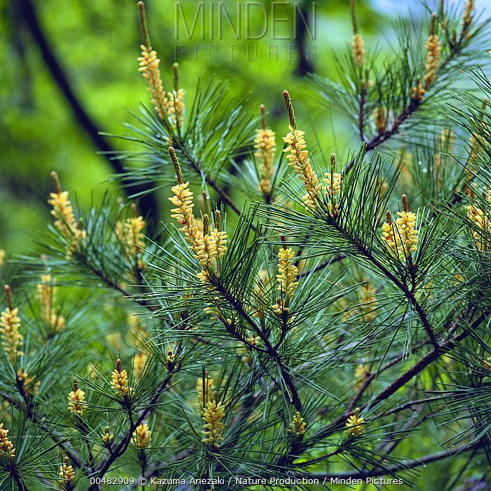 Tanyosho Pine (Pinus densiflora) needles and male pollen cones, Miyazaki, Japan  -  Kazuma Anezaki/ Nature Productio