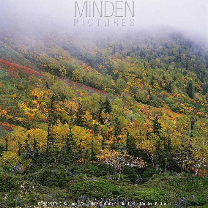 Yeddo Spruce (Picea jezoensis) and Sakhalin Fir (Abies sachalinensis), Mount Daisetsu, Hokkaido, Japan  -  Kazuma Anezaki/ Nature Productio