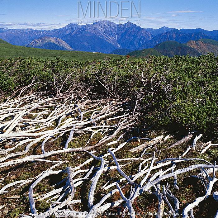Dwarf Siberian Pine (Pinus pumila), Nagano, Japan  -  Kazuma Anezaki/ Nature Productio