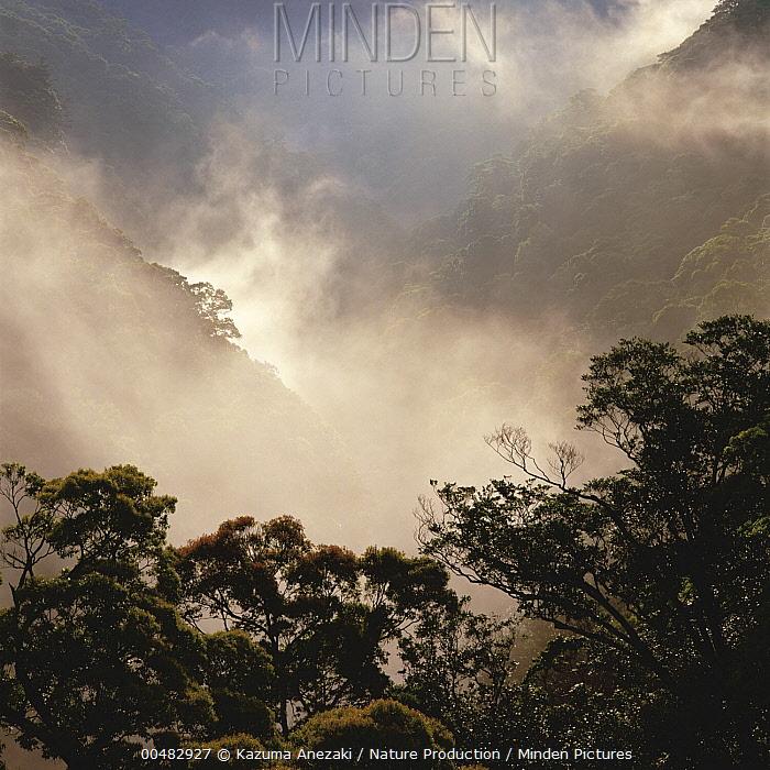 Evergreen broadleaf forest in morning mist, Miyazaki, Japan  -  Kazuma Anezaki/ Nature Productio