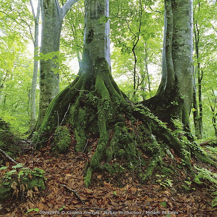 Japanese Beech (Fagus crenata) tree trunks and moss-covered roots  -  Kazuma Anezaki/ Nature Productio