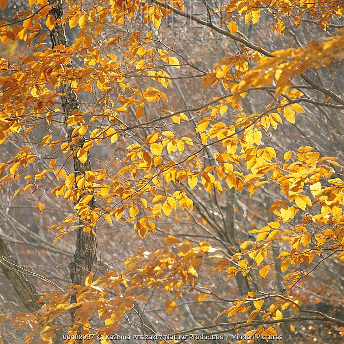 Japanese Beech (Fagus crenata) leaves in autumn color  -  Kazuma Anezaki/ Nature Productio