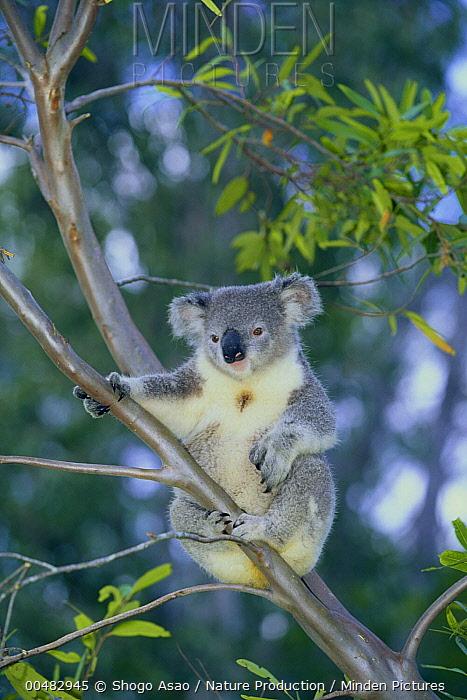 Koala (Phascolarctos cinereus), Lone Pine Koala Sanctuary, Australia  -  Shogo Asao/ Nature Production